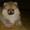 Померанский шпиц,  щенки-мишки КСУ #1100062