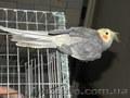 Продам очаровательного попугай с клеткой