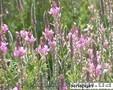 Продаю семена эспарцета и других медоносных растений