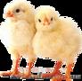 Подрощеные цыплята бройлера КОББ