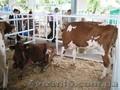 реализуем коров,  телок,  нетелей, телочек породы красно-рябая
